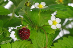 Red and unripe wild strawberry Royalty Free Stock Images