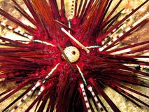 Red Urchin royalty free stock image