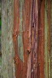 Red ut Cedar Bark Royaltyfri Foto