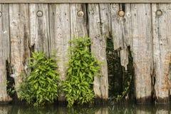 Red ut staket & vinrankor Fotografering för Bildbyråer