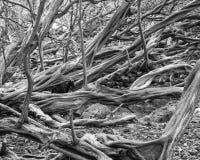 Red ut träd på den Maui kusten med en get royaltyfri foto