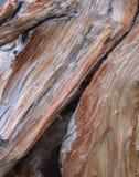 Red ut White Pine Arkivbilder