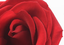 Red Valentine Rose. Red rose for the special Valentine person Stock Photography