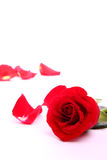 Red valentine rose. Beautiful valentien roses and place for sample text Royalty Free Stock Image