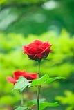 Red valentine roses. In garden Stock Photos
