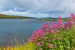 Red valerian. Flowers on the coast of Ardmore Bay, county Galway Ireland Royalty Free Stock Photos