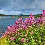 Red valerian. Flowers on the coast of Ardmore Bay, county Galway Ireland Stock Images