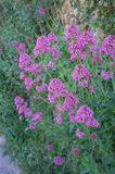 Red valerian bush Stock Photography