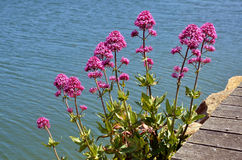 Red valerian flowers Royalty Free Stock Photos