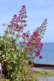 Red valerian flowers Stock Image