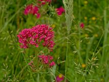 Red valerian flowers in a wild naturalist garden - Centranthus ruber. Red valerian flowers in a wild naturalist garden, selective focus with bokeh background Stock Image