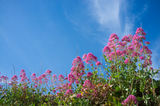 Red valerian Royalty Free Stock Images