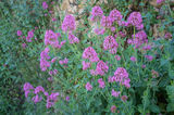 Red valerian shrub Stock Image