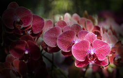Red Vanda Orchid flowers Stock Photo