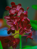 Red Vanda Orchid Royalty Free Stock Images