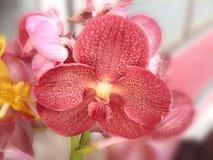 Red Vanda or Vanda coerulea Griff. Royalty Free Stock Photo