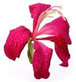 Red Variegata or Kanchon flower Stock Image