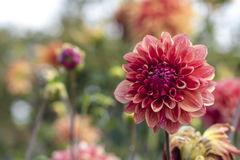 Red Variegated Dahlia. Dreams of summertime! This beautiful variegated dahlia is one of many, isolated in this photo in front of a blurred background of sister Stock Photography