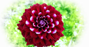Red variegated dahlia flower on blurred green background Royalty Free Stock Photo
