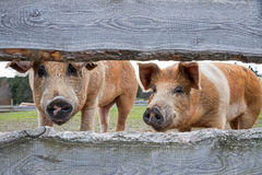 Red variegated pig - husum breed Stock Photos