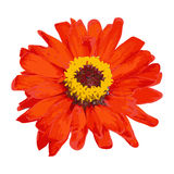Red vector flower Royalty Free Stock Photography