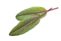 Red Vein Sorrel Stock Image