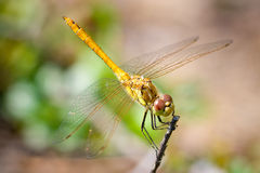 Red-veined darter Stock Photo