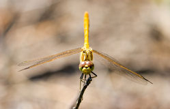 Red-veined darter Stock Photos