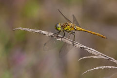 Red-veined darter Royalty Free Stock Image