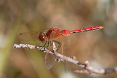 Red Veined Darter. Dragonfly resting on a twig Stock Photography