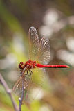 Red Veined Darter. Resting on a twig Royalty Free Stock Images