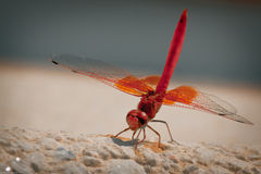 Red Veined Darter Dragonfly Royalty Free Stock Images