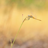 Red veined darter dragonfly Royalty Free Stock Photos
