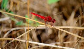 Red-veined darter dragonfly. Bright red dragonfly perched on a twig.Red-veined darterThe red-veined darter or nomad Sympetrum fonscolombii is a dragonfly of the Stock Photos