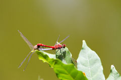 Red-veined darter dragonfly Royalty Free Stock Photography