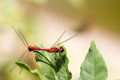 Red-veined darter dragonfly Stock Image