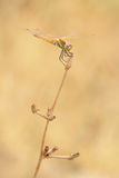 Red veined darter dragonfly Stock Image