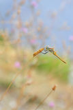 Red veined darter dragonfly Stock Images