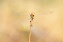 Red veined darter dragonfly Royalty Free Stock Image