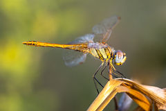 Red-veined Darter Dragonfly sitting on a plant Royalty Free Stock Photography