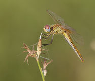 Red-Veined Darter (Sympetrum fonscolombii) royalty free stock photography