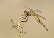 Red-Veined Darter (Sympetrum fonscolombii) stock images