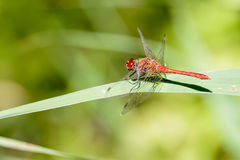 Red-veined darter Royalty Free Stock Photography