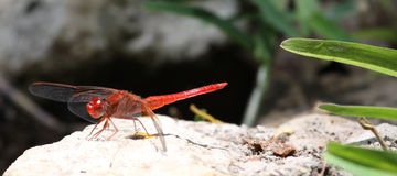 Red-veined dropwing dragonfly on a rock with wings lowered Stock Photo