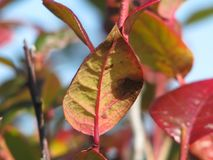 Red veined leaf in autumn stock photography