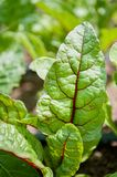 The red veined leaves of a beet plant above ground. stock images
