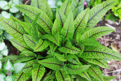 Red Veined Organic French Sorrel Royalty Free Stock Image