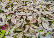 Red veined plant leaves. Full frame picture showing lots of red veined plant leaves Royalty Free Stock Photography