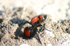 Red Velvet (Cow Killer) wasp. Red velvet (called Cow Killer for its painful sting) wasp digging in the sand Stock Image