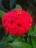 Red velvet like beautiful flower royalty free stock photo